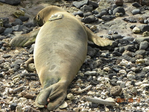 Hawaiian monk seal known as B24 with satellite tag