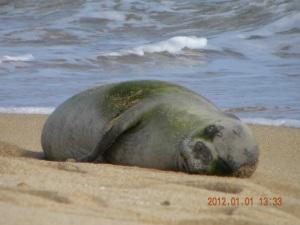 Hawaiian monk seal A20