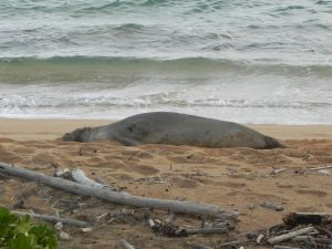 Hawaiian monk seal RK13