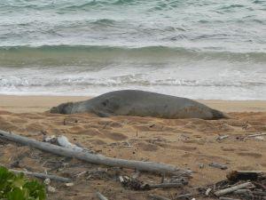 Hawaiian monk seal RK13