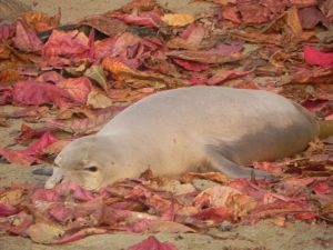 Hawaiian monk seal RK56