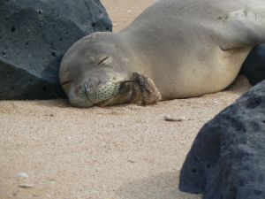 Hawaiian monk seal RK54