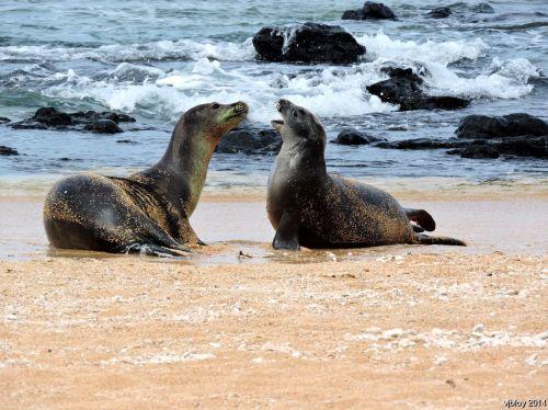 hawaiian monk seal, RF58