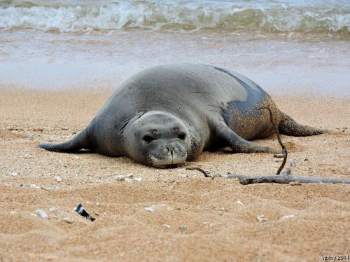 hawaiian monk seal, RF58