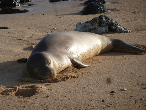 hawaiian monk seal, R6AP