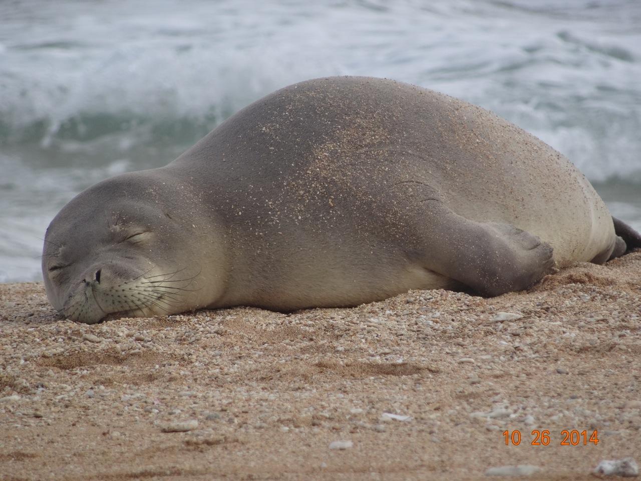 hawaiian monk seal, RF30