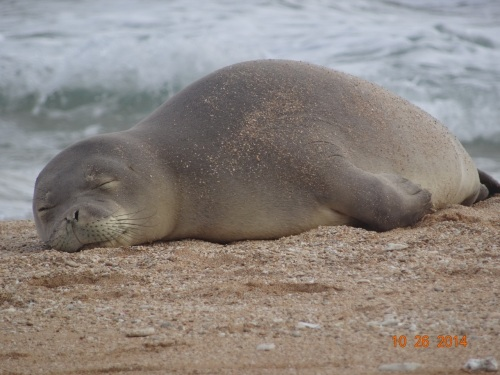 hawaiian monk seal, RF30