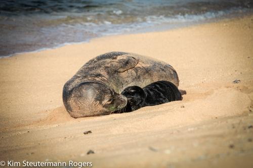hawaiian monk seal mom and pup