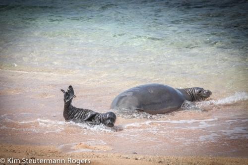 hawaiian monk seal and pup swimming