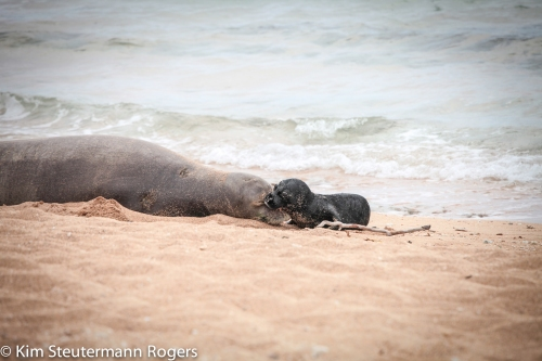 hawaiian monk seal mom and pup