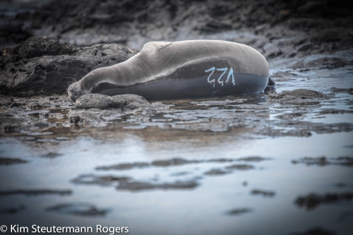 Hawaiian monk seal pup V22