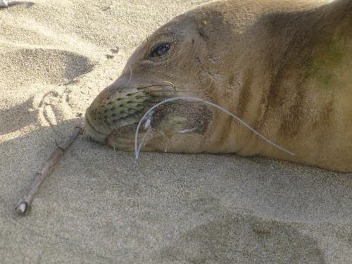 hawaiian monk seal with fish hook in its mouth