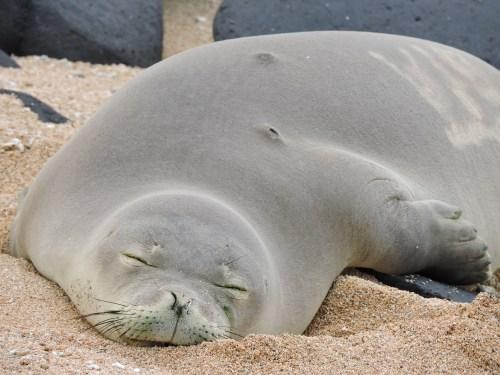 hawaiian monk seal pup on kauai