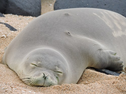 hawaiian monk seal pup on kauai