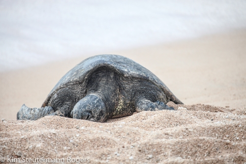 Honu Sleeping