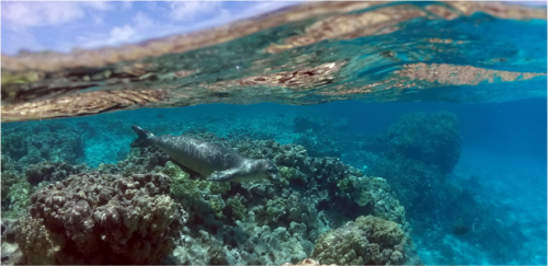 underwater-monk-seal