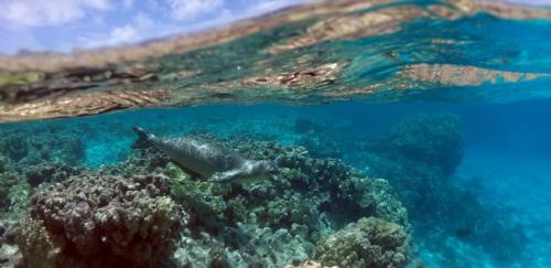 underwater-monk-seal
