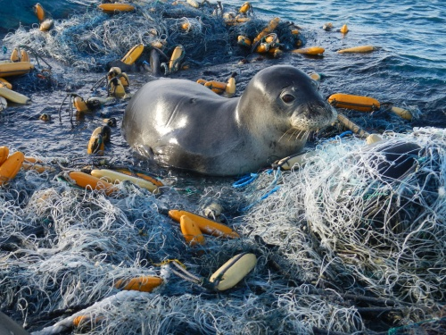 monk seal in derelect fishing gear